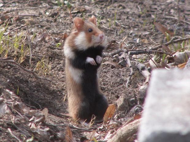 Photo Hamster d'Europe
