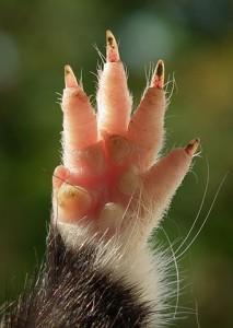 Patte antérieure d'un Grand Hamster d'Alsace