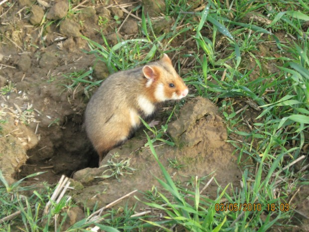 Grand Hamster d'Alsace (Cricetus cricetus)