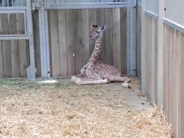 Girafon zoo de Vincennes
