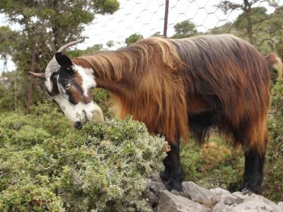 Rencontre avec Athina, chèvre grecque