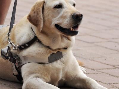 Du 21 au 28 septembre, participez à la semaine du chien guide d'aveugle