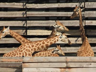Naissance d'un girafon au Zoo de Vincennes