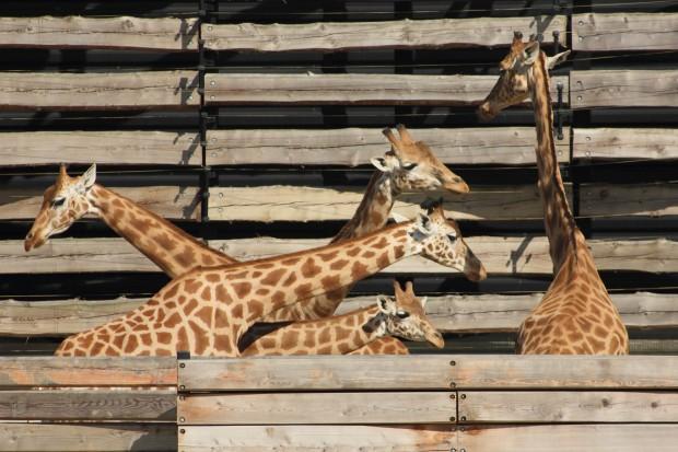 Girafes du parc zoologique de Paris - © Le Journal des animaux