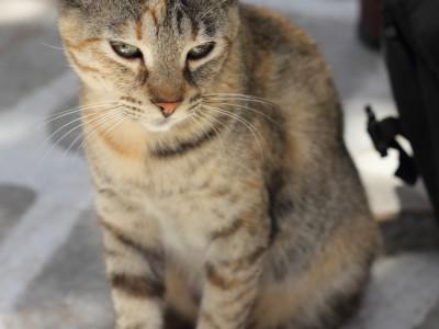 Rencontre avec Zorba, chat des Cyclades