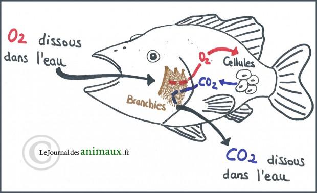 Schéma de la respiration des poissons