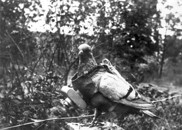 Pigeon équipé d'une caméra par l'armée allemande