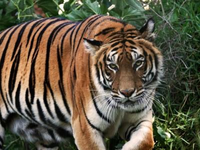 Un tigre en Seine-et-Marne ? Non, juste un chat !