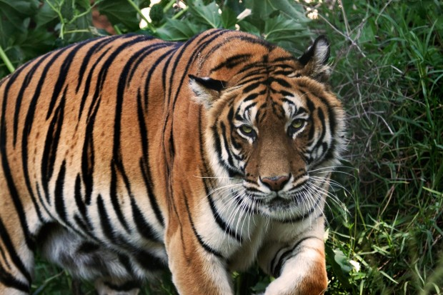 photo tigre du bengale