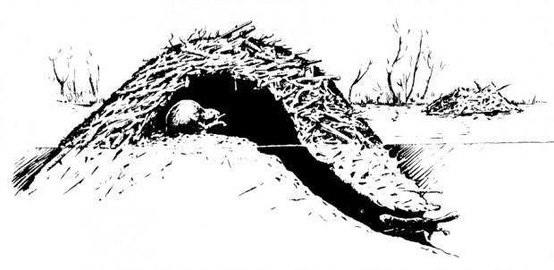 Schéma d'un terrier de castor
