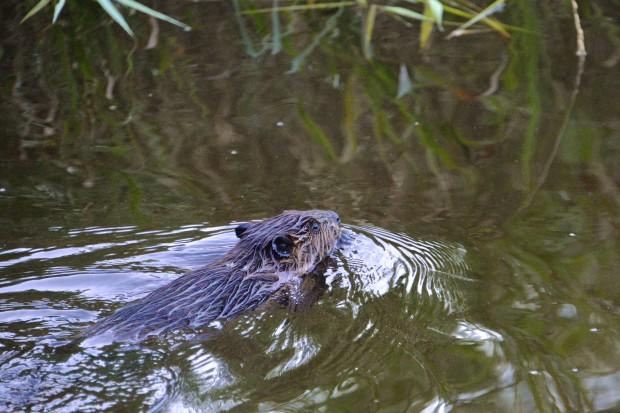 Le castor est un excellent nageur