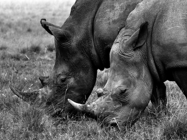 Photo : rhinocéros blancs