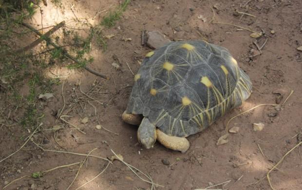 Tortue de Madagascar — © Le Journal des animaux/Tous droits réservés