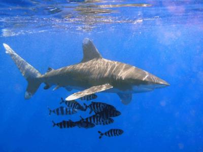 Mieux vivre avec les requins