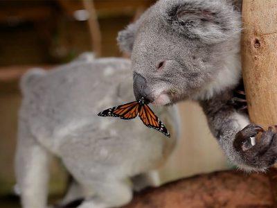Une adorable rencontre entre un koala et un papillon