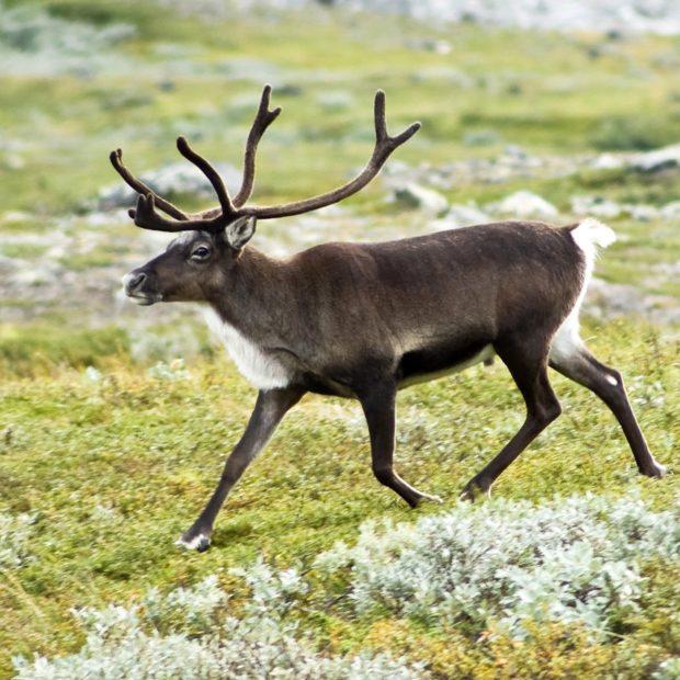 Un renne, aussi appelé caribou (Rangifer tarandus) dans la vallée du Kebnekaise, dans les Alpes scandinaves (Suède)